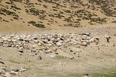 Nomad shepherd in Ladakh, India. Nomad shepherd along the shore of Tso Moriri Lake in Ladakh region of the Indian state of Jammu and Kashmir Stock Images