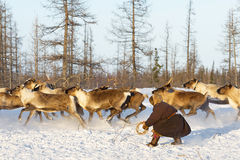 Nomad shepherd catches reindeer by lasso during migration. Stock Photography