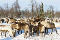 Nomad shepherd feeds reindeer during migration. Royalty Free Stock Images