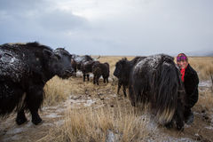 Nomad woman milking a yak Royalty Free Stock Photo