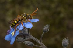 Nomada cuckoo-bee. A Gooden`s Nomad Bee Nomada goodeniana sitting on a garden forget-me-not flower Stock Images