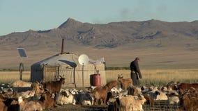 Nomade che cammina fra il bestiame, le mucche, le pecore e le capre davanti ad un Yurt (GER) in Mongolia stock footage