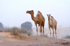 Nomadi del deserto Fotografia Stock