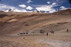 Nomadi Himalayan di Changpa, Ladakh, India Fotografia Stock Libera da Diritti