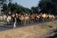 Nomadic family herds their camels Royalty Free Stock Image