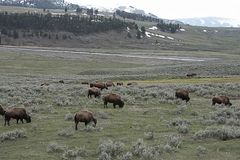 Bison. The nomadic grazers that are  the largest terrestrial animal in North America and travel in herds Stock Photos