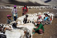 Nomads in Ladakh, India. Till date the people of Ladakh are semi Nomads and take their Yak, sheep and goats to the high altitude pastures behind the mighty Stock Image
