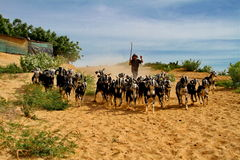 The nomads. In Vietnam, the inside of the village herdsmen, busy driving sheep back Royalty Free Stock Photos