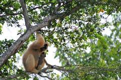 Nomascus, Gibbon-aap met baby Stock Foto's