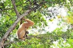 Nomascus, Gibbon-aap met jongelui Stock Foto