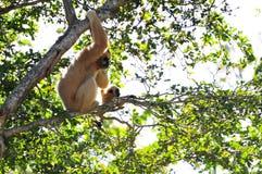 (Nomascus) Gibbon-Affe und ihr Baby Lizenzfreies Stockbild