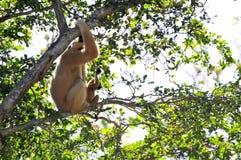 (Nomascus) Gibbon-Affe und ihre Junge Lizenzfreies Stockfoto