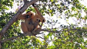 (Nomascus) Gibbon-Affe und ihre Nachkommenschaft Lizenzfreie Stockfotografie