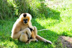 Nomascus, Gibbon monkey and her baby Royalty Free Stock Images