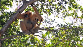 (Nomascus) Gibbon monkey and her offspring Royalty Free Stock Photography