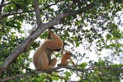 Nomascus, jeune Gibbon blanc-cheeked et mère Photographie stock