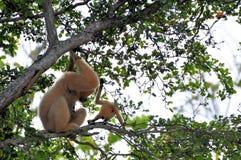 Nomascus, junger Gibbon und Mutter Stockfoto