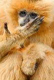 Nomascus-Nordleucogenys Gibbon des orange Affen weiß--cheeked, Hand mit den langen Fingern vor Gesicht, Vietnam Lizenzfreie Stockfotos