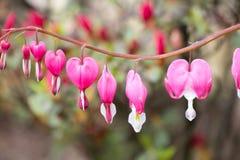 Nombre científico del corazón de la forma del fondo rosado de la flor: Lamprocapn imágenes de archivo libres de regalías