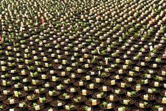 Nombre important de jeunes plantes nouvellement transplantées Images libres de droits