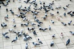 Nombre incomptable des colombes picotant le pain image libre de droits