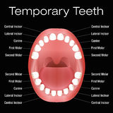 Nombres de los dientes primarios Fotos de archivo libres de regalías
