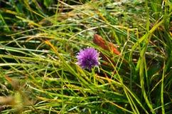 Nome botanico - allium schoenoprasum Fotografia Stock Libera da Diritti