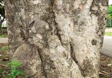 Nome científico de superfície de Wa: Cumini do Syzygium Fotos de Stock