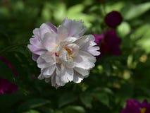 Nome científico do lactiflora do Paeonia: Nuvem do lactiflora do Paeonia , primeiro ministro nas flores foto de stock