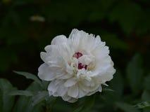Nome científico do lactiflora do Paeonia: Nuvem do lactiflora do Paeonia , primeiro ministro nas flores fotografia de stock