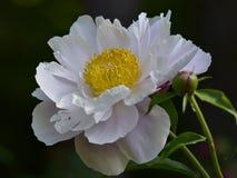 Nome científico do lactiflora do Paeonia: Nuvem do lactiflora do Paeonia , primeiro ministro nas flores fotos de stock