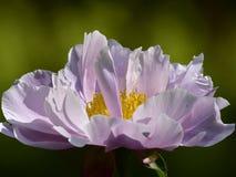 Nome científico do lactiflora do Paeonia: Nuvem do lactiflora do Paeonia , primeiro ministro nas flores imagem de stock