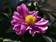 Nome scientifico di lactiflora di Paeonia: Cappa di lactiflora di Paeonia , primo ministro in fiori immagini stock libere da diritti