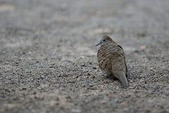 Nome scientifico macchiato Spilopelia della colomba chinensis sulla terra con il fondo dello spazio della copia Fuoco selettivo e Fotografie Stock