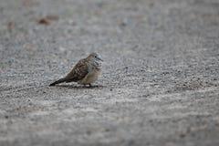 Nome scientifico macchiato Spilopelia della colomba chinensis sulla terra Fuoco selettivo e profondità di campo bassa Fotografia Stock Libera da Diritti