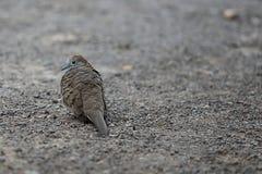 Nome scientifico macchiato Spilopelia della colomba chinensis sulla terra Fuoco selettivo e profondità di campo bassa Immagini Stock Libere da Diritti