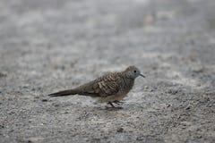 Nome scientifico macchiato Spilopelia della colomba chinensis sulla terra Fuoco selettivo e profondità di campo bassa Fotografia Stock