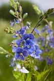 Nomeolvides azules Fotos de archivo