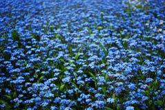 Nomeolvides azules Foto de archivo libre de regalías