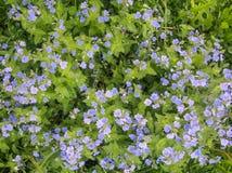 Nomeolvides azules en la hierba verde Fotografía de archivo