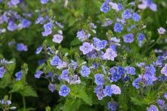 Nomeolvides azules en la hierba verde Imágenes de archivo libres de regalías