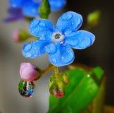 Nomeolvides en gotas de la lluvia fotografía de archivo libre de regalías