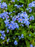 Nomeolvides, flor azul una muestra de la naturaleza imagenes de archivo