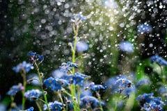 Nomeolvides iluminadas por el sol en la lluvia Imagen de archivo libre de regalías