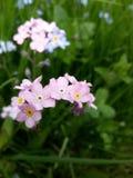 Nomeolvides rosada Fotografía de archivo libre de regalías