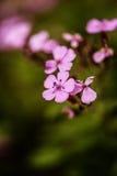 Nomeolvides rosadas Imagen de archivo libre de regalías