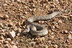 Nominotypical Levantine viper, Viera l. lebetina, Cyprus Royalty Free Stock Image