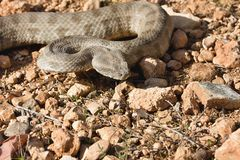 Nominotypical Levantine viper, Viera l. lebetina, Cyprus. The nominotypical Levantine viper, Viera l. lebetina, Cyprus Stock Photos