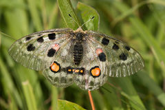 Nomion butterfly Stock Images