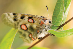 Nomion butterfly Royalty Free Stock Image